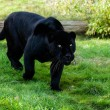 Black Jaguar Stalking through Grass — Stock Photo #14211883