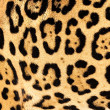 Real Live Jaguar Skin Fur Texture Background - Stock Photo