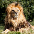 Proud Majestic Lion Sitting in Grass — Stock Photo #14211893