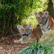 Stock Photo: Two Adorable Amur Tiger Cubs Hiding in Shelter