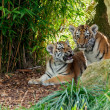 Two Cute Amur Tiger Cubs in Rocky Shelter — Stock Photo
