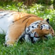 Stock Photo: Beautiful Amur Tiger Lying Down Resting in Grass