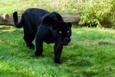 Black Jaguar Stalking through Grass — Stock Photo
