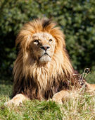 Proud Majestic Lion Sitting in Grass — Stock Photo