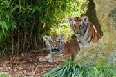 Two Adorable Amur Tiger Cubs Hiding in Shelter — Stock Photo