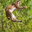 Playful EurasiLynx Jumping to Catch Something in Paws — Stock Photo #14425311