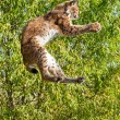 Постер, плакат: Playful Eurasian Lynx Jumping to Catch Something in Paws
