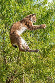 Playful Eurasian Lynx Jumping to Catch Something in Paws — Stock Photo