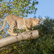 Stock Photo: Cheetah Crouching on a Tree Branch