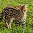 Cute Serval Kitten Standing on Grass — Stock Photo #14731053