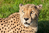 Head Shot of Beautiful Cheetah in Afternoon Sun — Stock Photo
