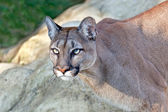Head Shot of Beautiful Puma in Afternoon Sun — Stock Photo