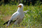 The Egyptian Vulture (Neophron percnopterus) sitting on the grass — Foto Stock