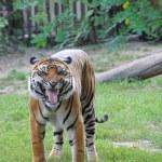 Amur Tiger — Stock Photo #35093459