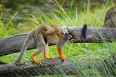 "Monkey ""squirrel monkey"" with a baby on her back is the dry tree — Stock Photo"