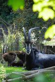 черная антилопа — Стоковое фото