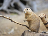 Marmot op een boomstronk — Stockfoto