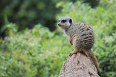 Meerkat in the rain — Stock Photo