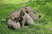 Family of cheetahs — Stock Photo