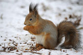 Red squirrel on the snow — Stock Photo