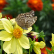 Butterfly on flowers. - Photo