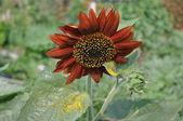 Red decorative sunflower. — Stock Photo