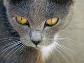 Portrait of a gray cat with white whiskers. — Stock Photo