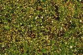 Flowering grass. — Stock Photo
