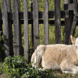 Stock Photo: Calf at fence.