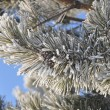 Frost on spruce branch. — Stock Photo