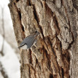 Nuthatch on tree trunk. — Stock Photo #14720729