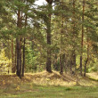 Stock Photo: Coniferous forest.