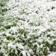 Stock Photo: Snow on grass.