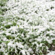 Snow on grass. — Stock Photo #39542023