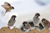 Sparrows on the trough. — Stock Photo