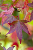Autumnal liquidambar leaves — Stock Photo