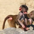 Young hamadryas baboon ( Papio hamadryas) - Stock Photo