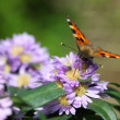 Small tortoiseshell  ( Aglais urticae) - Stock Photo