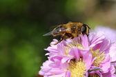 Bee feeding — Stock Photo