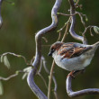 House Sparrow, Passer domesticus - Stock Photo