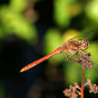 Ruddy darter (Sympetrum sanguineum) — Stock Photo
