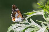La mariposa — Foto de Stock