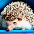 Stock Photo: Africpygmy hedgehog