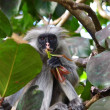 Постер, плакат: Red colobus monkey Zanzibar