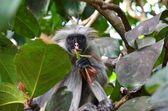 Red colobus monkey, Zanzibar — Stock Photo