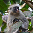 Stock Photo: Red colobus monkey in Jozani NP, Zanzibar
