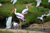 Colorful birds storks, Srí Lanka — Stock Photo