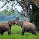 Elephants in love, Srí Lanka — Stock Photo #26160843