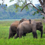Elephants in love, Srí Lanka — Stock Photo #26161165