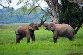 Elephants in love, Srí Lanka — Stock Photo